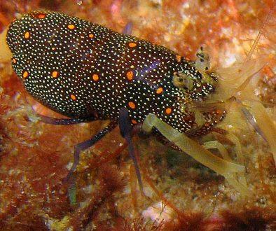 Cortez Barrel Shrimp